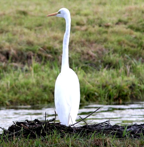witte-reiger-5-small