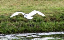 witte-reiger-small