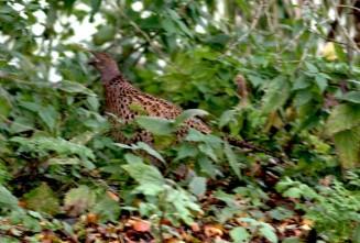 fazant-small
