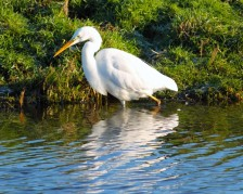 witte-reiger-1-small