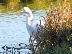 witte-reiger-13-small