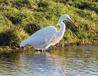 witte-reiger-6-small