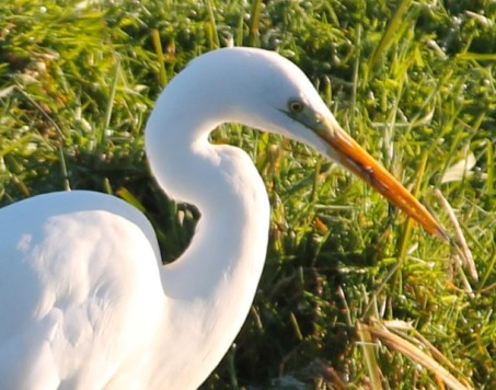 witte-reiger-7-small