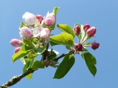 apple-blossom-6983_960_720