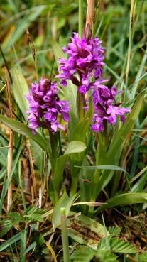 Wilde orchidee 5 (Medium)