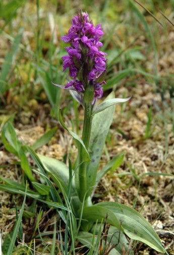 Wilde orchidee 6 (Medium)