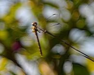 Libelle (Medium)