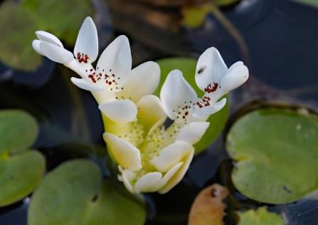 Vijverplant 6