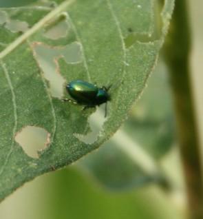 Groene kevertjes (Small)