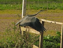 Reiger 2 (Small)