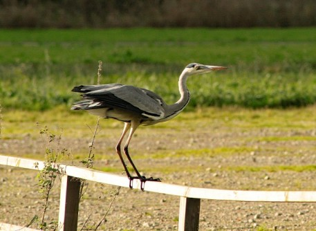 Reiger (Small)