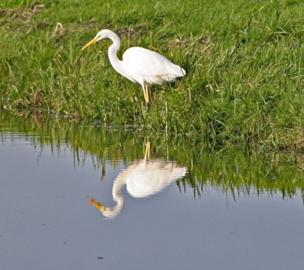 Reiger wit 1 (Small)