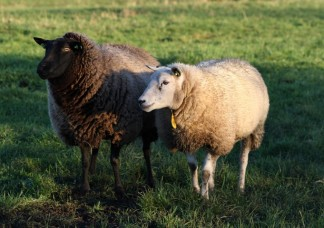 SChapen (Small)