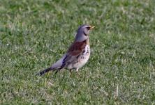 Kramsvogels 1
