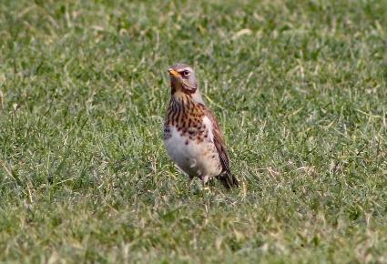 Kramsvogels 2