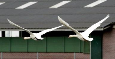 Zwanen vliegen (Small)