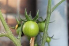 Tomaten 1