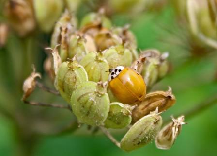 Lieveheersbeestje (Klein)