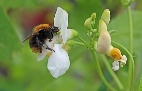 Bijen (Middel)