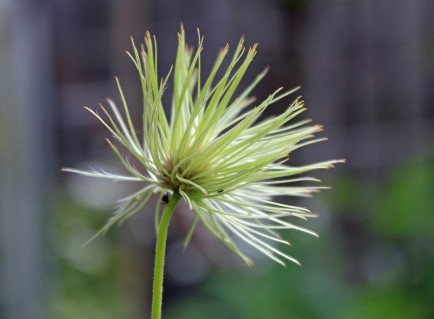 Klomplant 1 (Middel)