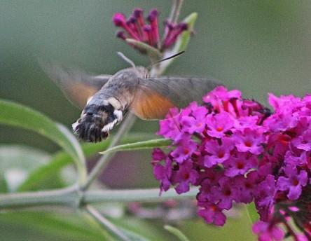 Kolibri vlinder (Middel)