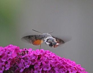 Kolibriblinder 3 (Middel)