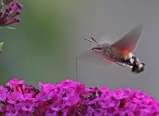 Kolibrivlinder 1 (Middel)