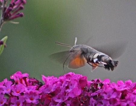 Kolibrivlinder 10 (Middel)