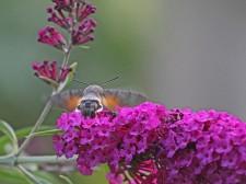 Kolibrivlinder 2 (Middel)