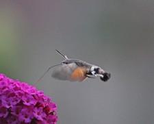 Kolibrivlinder 5 (Middel)