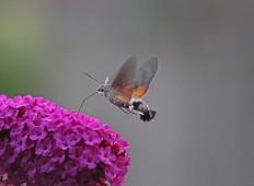 Kolibrivlinder 6 (Middel)