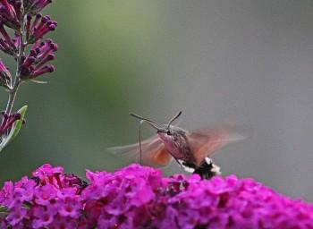 Kolibrivlinder 8 (Middel)