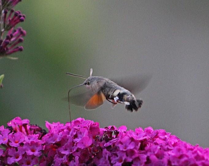 Kolibrivlinder 9 (Middel)