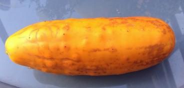 Komkommer geel (Middel) (2)