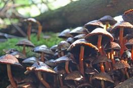 paddenstoelenn (Klein)