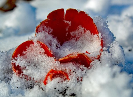 bekerzwam sneeuw (middel)
