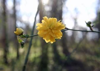 Gele bloesem 3 (Middel)