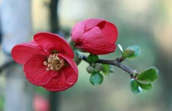 Rode bloesem 2 (Middel)