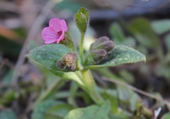 Rose bloem 1 (Middel)