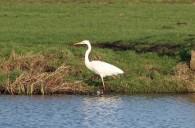 Witte reiger 45 (Middel)