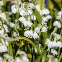 Look-Allium-paradoxum