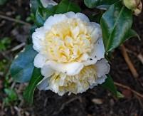 Oleanders (Middel)