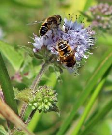 Bijen (4)