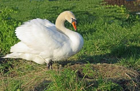 Zwaan lege nest syndroom (Middel)