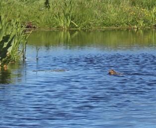 Zwemmende haas (Middel)