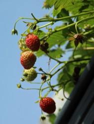 Aardbeiene 1 (Middel)
