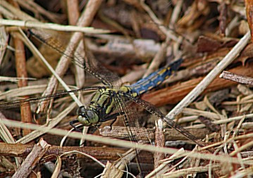 Blauwe libelle 1 (Middel)
