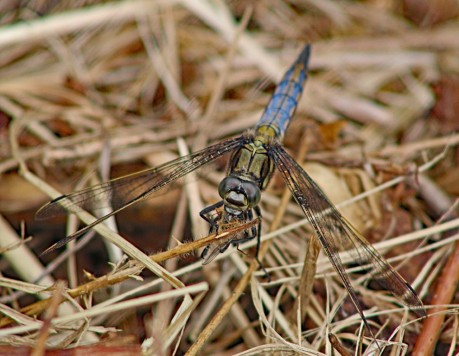 Blauwe libelle (Middel)