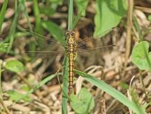 Bruine Libellel 2 (Middel)