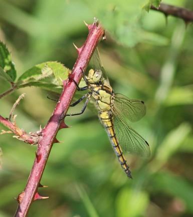 Libellele (Middel)